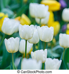 White color tulip flower - Close up beautiful white color...
