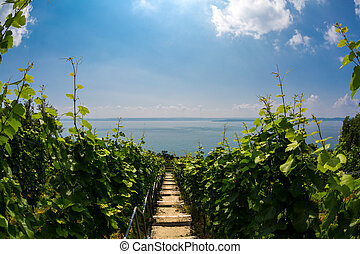 Meersburger vineyard - View of a vineyard on the of the sun...