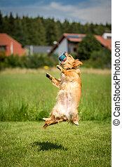 Rückenlage - Kleiner brauner Hund mit einem Ball in der...