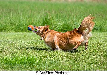 Gleich hab ich ihn - Kleiner brauner Hund beim spielen mit...