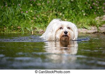 Hund geht durchs Wasser - Kleiner Weißer Hund geht durchs...