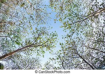 Teak wood tree against blue sky