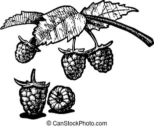 raspberry - Vector illustration of a raspberry stylized as...