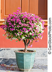Bougainvillea spectabilis - Close up pink and white color...