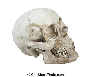 Skull with Cranial Lines - Skull with eye sockets and teeth...