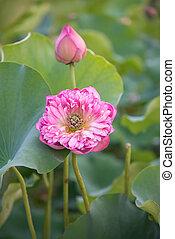 bloeien, lotus, bloem