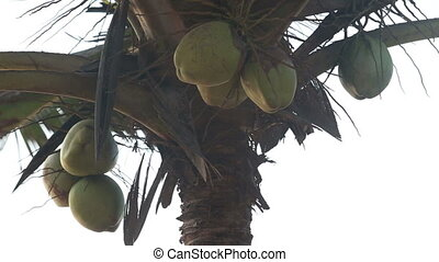 coconuts hanging on a palm tree that sways
