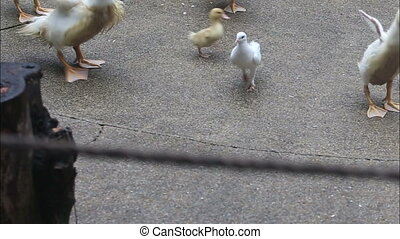 duck run and search for food on the concrete