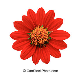 Red Flower - chrysanthemum - A flower, sometimes known as a...