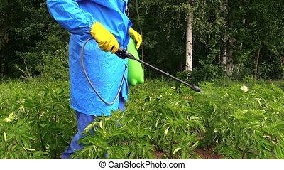 protect potato pesticide - gardener spray pesticide on...