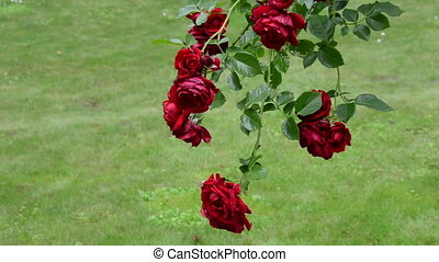 rose flower bush garden - Rose flower branch with big red...