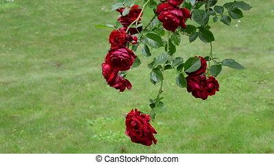 rose flower bush garden