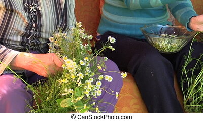 hand pick herb camomile - close up of two woman hand pick...