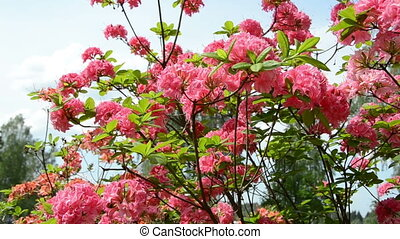 pink rhododendron - Panorama of pink rhododendron flower...