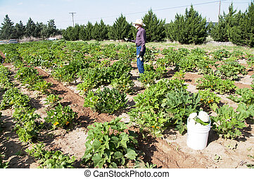 Farmer in Squash Garden - Ninety-One year old Farmer working...
