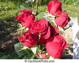 Shrub rose. - Red rose bush in the flower garden.
