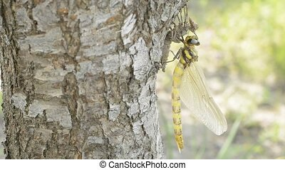 Emerged dragonfly - Emerged Golden ringed dragonfly hanging...