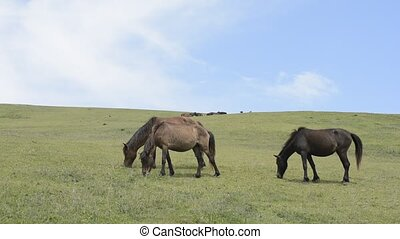 Three horses - Eating three horses on green hillside under...