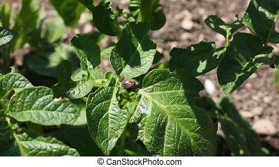 leaves of potato with beetles parasites
