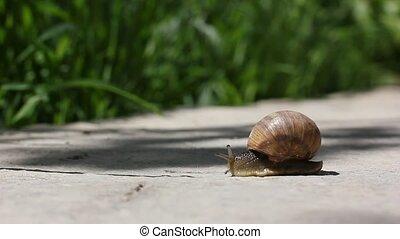 snail crawls along ground - A Garden snail slides across the...
