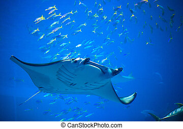 Swimming Manta ray in Okinawa