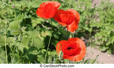 poppy flower on the wind