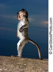 Baby monkey standing on stone wall