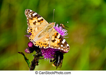 A butterfly on a thistle - A picture of a thistle with a...