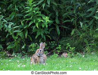 Wild Rabbit - A rabbit comes out of the woods to nibble on...