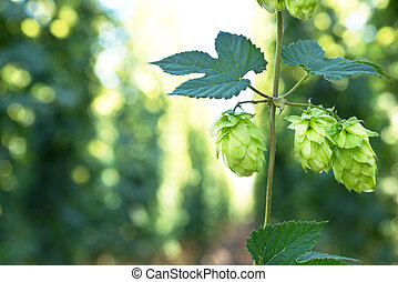 Hop Cones - ripened hop cones in the hop garden