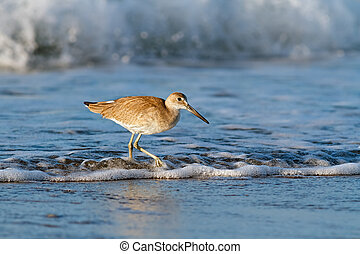 Willet in the Waves - A willet, a type of sandpiper-like...