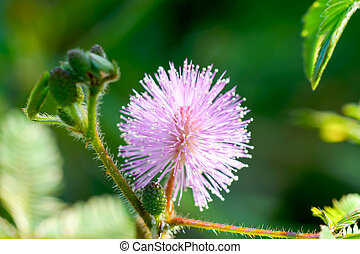 Beautiful blooming pink flower of sensitive plant (mimoza)