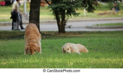 Two golden retrievers chewing stick in the park
