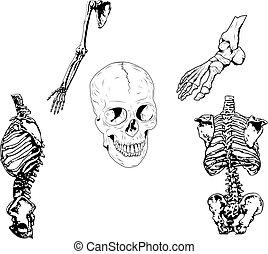 Human Skeleton Illustration - Set of vector illustration. 5...