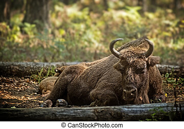 bison cow with calf - European bison (Bison bonasus) with...