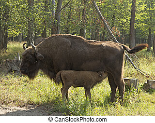 bison cow with calf - mother European bison (Bison bonasus)...