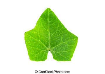 Ivy Gourd Leaves Isolated on White Background
