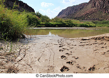 Bear Tracks - Fresh Black Bear Tracks in Mud, Big Bend Ranch...