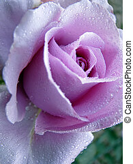 rose - closeup photo of beautiful purple rose flower