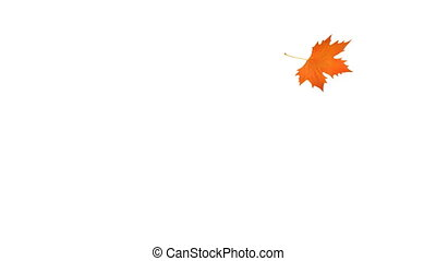 Falling and swirling sycamore orange leaf. With Alpha chanel...