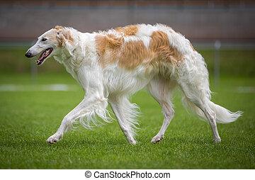 Barsoi - Ein Barsoi eine Windhund Art geht über eine grüne...