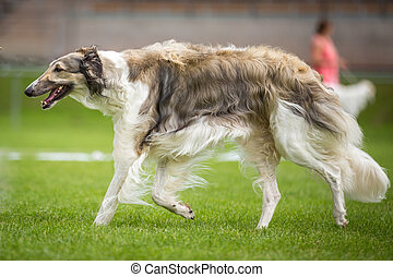 Windhund - Barsoi - Ein großer Windhund geht über eine...