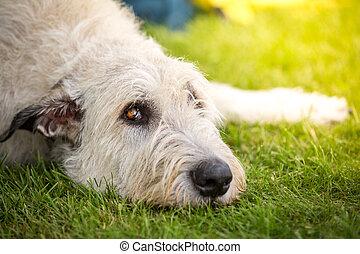 Treuer Blick eines Irischer Wolfshund - Ein Hellbrauner...