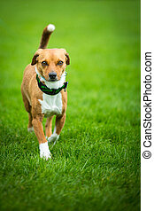 Scheuer Hund - Kleiner etwas ängstlich wirkender Hund läuft...