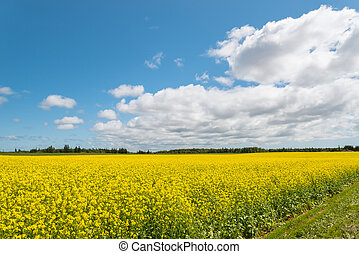 Yellow field rapeseed in bloom (Green Gables Shore, Prince...