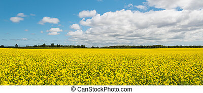 Panorama of yellow field rapeseed (Green Gables Shore,...