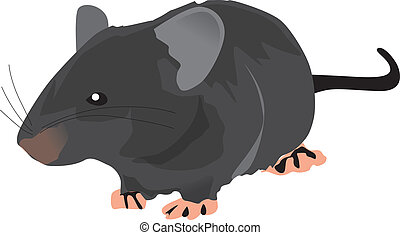 a big black rat isolated on white background