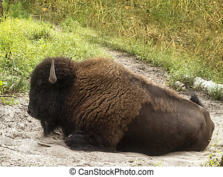 European wood bison - European bison (Bison bonasus),...
