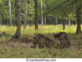 European bisons rest in forest - Two cows of European bison...
