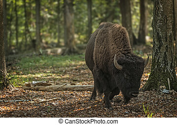 wisent - European bison (Bison bonasus), Prioksky-terraced...